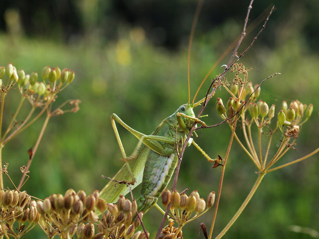 Great green bush-cricket