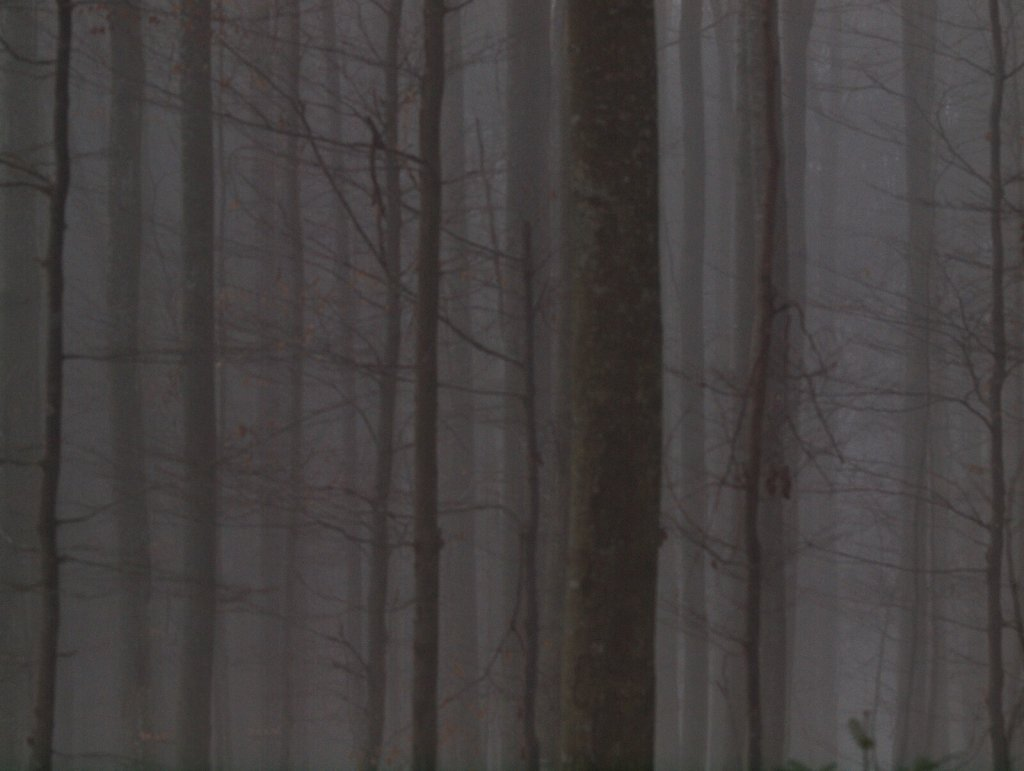 Forest  the Fog