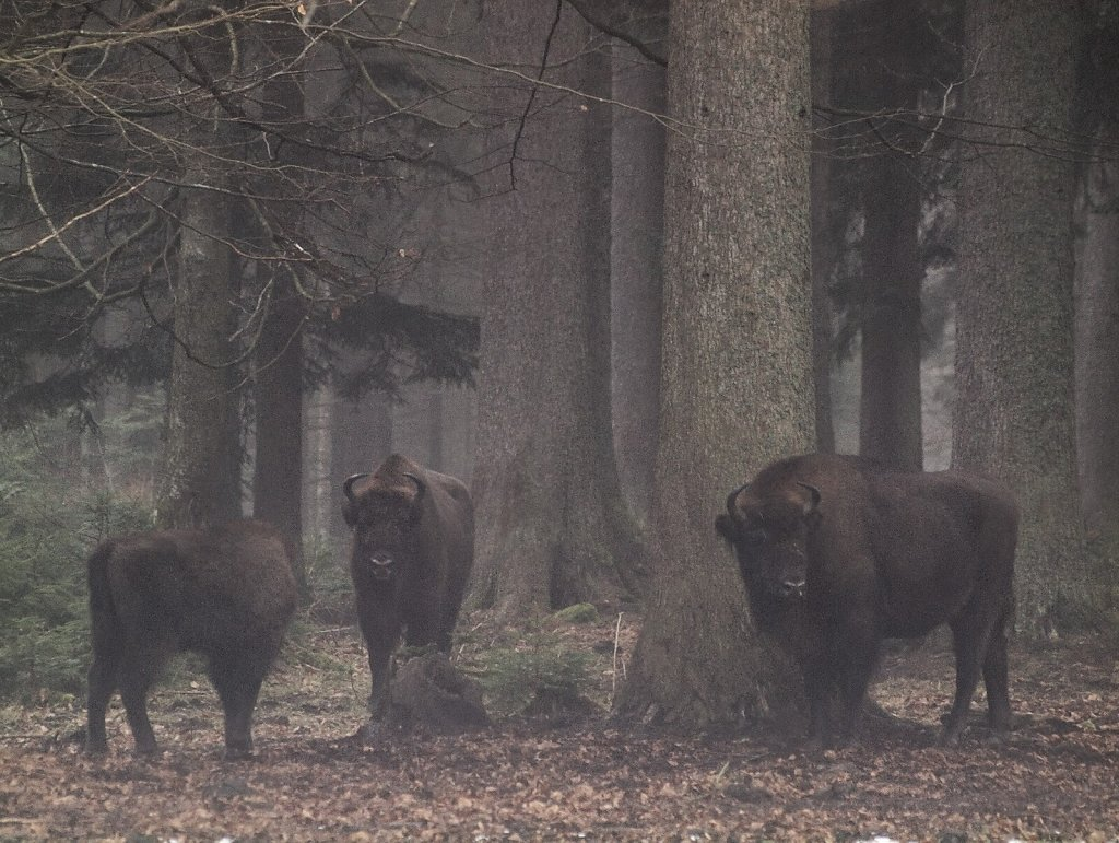 European Bisons