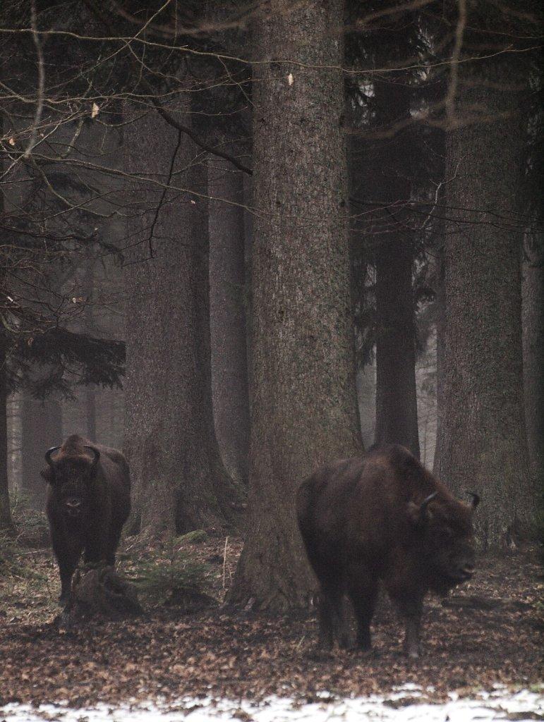 European Bisons