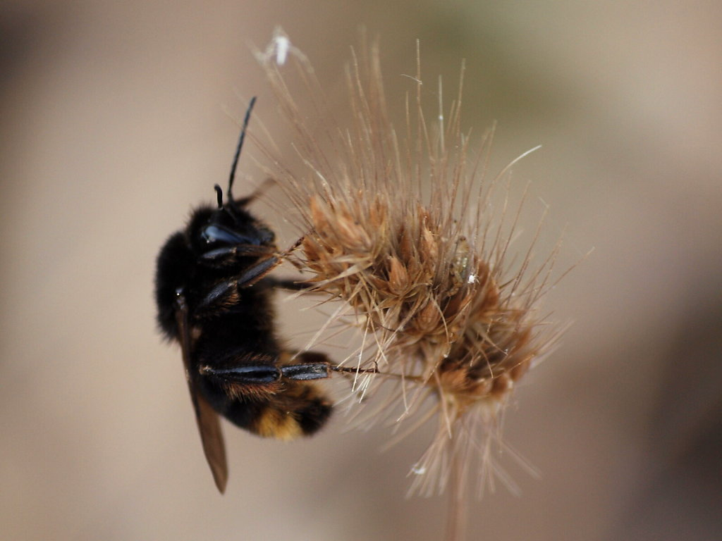 Bumblebee on a Wheat Flower